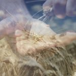 Da dove proviene il grano della pasta Sgambaro?