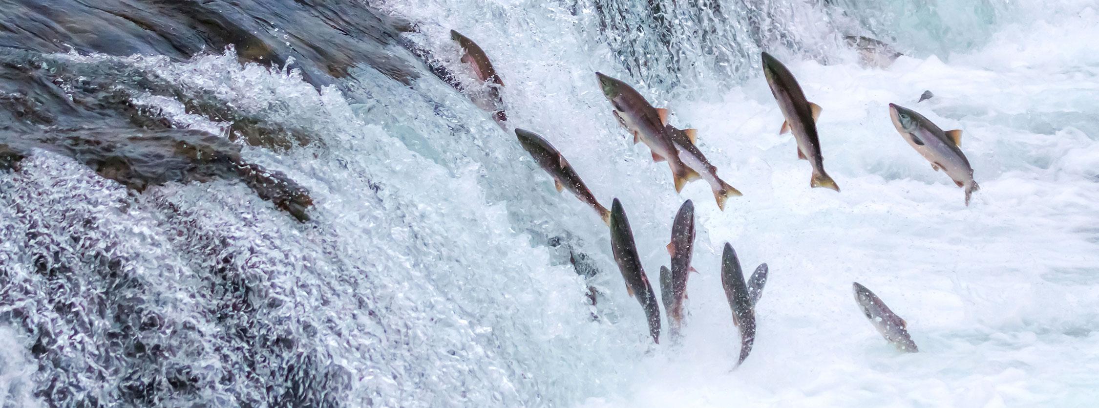 Salmoni selvaggi risalgono un fiume